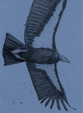 California Condor Bookmark