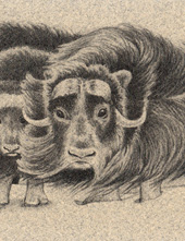 Muskoxen Bookmark