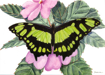 Malachite Butterfly Notecard