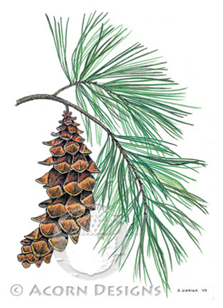 White Pine Notecard