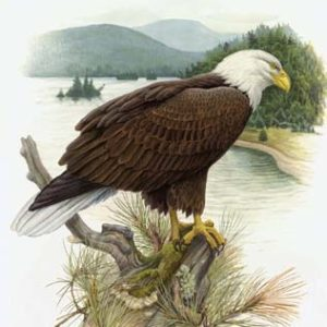 Bald Eagle Notecard