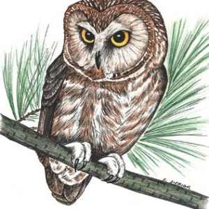Saw-Whet Owl Notecard