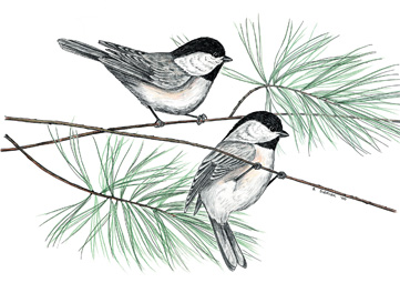 Black-capped Chickadees Notecard