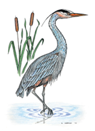 Great Blue Heron Notecard
